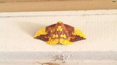 jesus moth